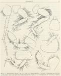 Ruffo (1949, fig. 06)
