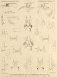 Hansen, H.J. (1908). Zoologie: Schizopoda and Cumacea. Résultats du Voyage du S.Y. Belgica en 1897-1898-1899 sous le commandement de A. de Gerlache de Gomery: Rapports Scientifiques (1901-1913). Buschmann: Anvers, Belgium. 20, III pla