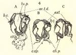 Leloup, E. (1938). Zoologie: Siphonophores et Cténophores. Résultats du Voyage de la Belgica en 1897-1899 sous le commandement de A. de Gerlache de Gomery: Rapports Scientifiques (1926-1940). Buschmann: Anvers, Belgium. 12, I plate pp