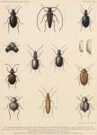 &lt;B&gt;Bergroth, E.&lt;/B&gt; (1906). Zoologie: Insectes. Hémiptères. <i>Résultats du Voyage du S.Y. <i>Belgica</i> en 1897-1898-1899 sous le commandement de A. de Gerlache de Gomery: Rapports Scientifiques (1901-1913)</i>. Buschmann: Anvers, Belgium. 13-15 pp.