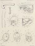 Pelseneer, P. (1903). Zoologie: Mollusques (Amphineures, Gastropodes et Lamellibranches). Résultats du Voyage du S.Y. Belgica en 1897-1898-1899 sous le commandement de A. de Gerlache de Gomery: Rapports Scientifiques (1901-1913). Busc