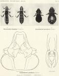 Thompson, G.B. (1938). Zoologie: Mallophaga. Résultats du Voyage de la Belgica en 1897-1899 sous le commandement de A. de Gerlache de Gomery: Rapports Scientifiques (1926-1940). Buschmann: Anvers, Belgium. 6, I plate pp.