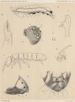 Willem, V. (1902). Zoologie: Collemboles. Résultats du Voyage du S.Y. Belgica en 1897-1898-1899 sous le commandement de A. de Gerlache de Gomery: Rapports Scientifiques (1901-1913). Buschmann: Anvers. 19, IV plates pp.