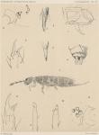 &lt;B&gt;Willem, V.&lt;/B&gt; (1902). Zoologie: Collemboles. <i>Résultats du Voyage du S.Y. <i>Belgica</i> en 1897-1898-1899 sous le commandement de A. de Gerlache de Gomery: Rapports Scientifiques (1901-1913)</i>. Buschmann: Anvers. 19, IV plates pp.