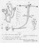 Leloup, E. (1952). Coelentérés. Faune de Belgique. Institut royal des Sciences naturelles de Belgique: Brussel. 283 pp.