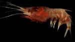 Oplophorus spinosus