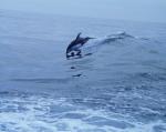 Whiteside dolphin