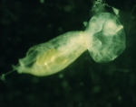 Jelly eating copepod, 4x