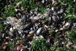 Mosselen op strandhoofd