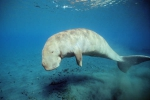 Dugong dugon, Australia, (c) Doug Perrine, seapics.com, author: Self-Sullivan, Caryn