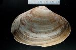 Mactromeris polynyma, author: Noz�res, Claude