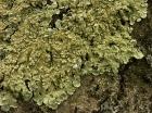 Groen boomschildmos