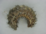 Aphroditella hastata - sea mouse (polychaete), author: Noz�res, Claude