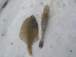 Crangon crangon and  Pleuronectes platessa, author: Nuyttens, Filip