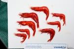 Acanthephyra - scarlet shrimps