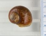 Cryptonatica affinis, author: Noz�res, Claude