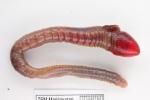 Artacama proboscidea