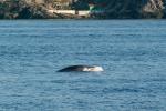 Minke whale feeding