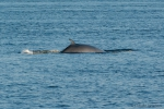 Minke whale - view of back, author: Nozères, Claude