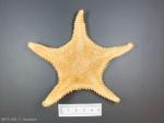Hippasteria phrygiana-dried