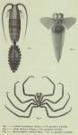Zeespinnen, spinachtigen en degenkrabben
