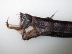 Stomiiformes