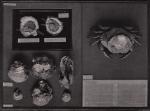 Gilson (1914, fig. 064)