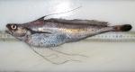 longfin hake-typical, author: Noz�res, Claude