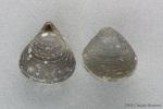 Hemithiris psittacea