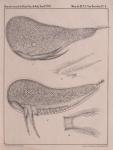 &lt;B&gt;Van Beneden, P.-J.&lt;/B&gt; (1861). Recherches sur les Crustacés du littoral de Belgique <i>Mém. Acad. R. Sci. Lett. B.-Arts Belg., Collect. 4 XXXIII</i>: 1-174, plates I-XXI