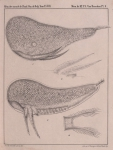 Van Beneden (1861, pl. 10)