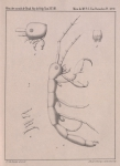 Van Beneden, P.-J. (1861). Recherches sur les Crustacés du littoral de Belgique Mém. Acad. R. Sci. Lett. B.-Arts Belg., Collect. 4 XXXIII: 1-174, plates I-XXI