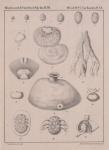 Van Beneden (1861, pl. 20)