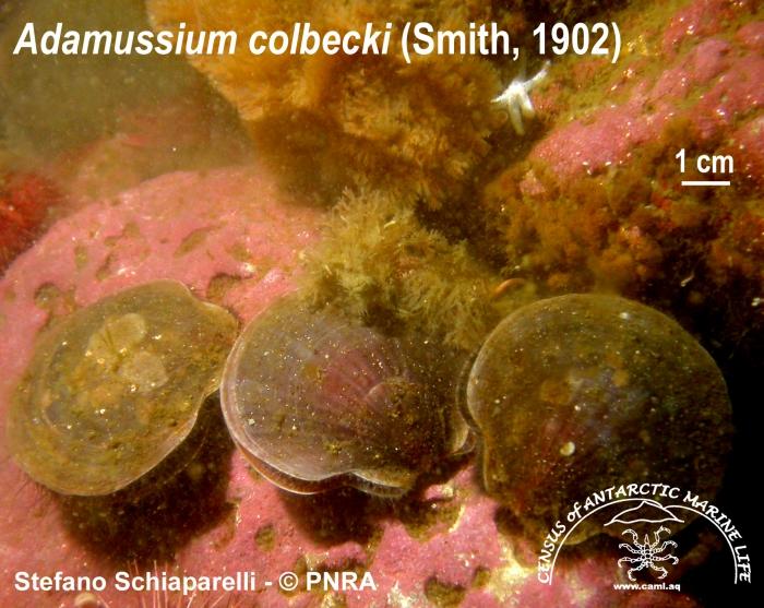 Adamussium colbecki 3