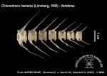 Chionodraco hamatus (vertebrae)