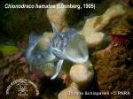Chionodraco hamatus 5