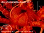 Notocrinus virilis 3