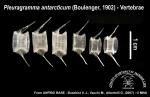 Pleuragramma antarcticum (vertebrae)