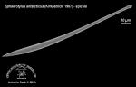 Sphaerotylus antarcticus (spicule) 1