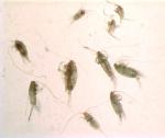 Mesozooplankton