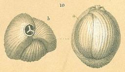 Triloculina trigonula var. striatotrigonula, author: Tomas Cedhagen