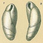 Cassidulinoides tenuis, author: Tomas Cedhagen