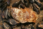 Japanse oester - Crassostrea gigas