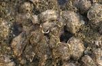 Japanse oester - Crassostrea gigas
