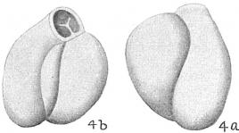 Triloculina anconensis, author: Cedhagen, Tomas