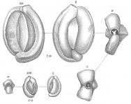 Miliolina contorta, author: Cedhagen, Tomas
