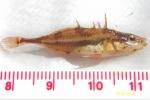 Apeltes quadracus - Fourspine stickleback, author: Bertin Gauvin