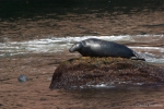 Grey seal - dorsal view