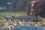 Atlantic sturgeon in aquarium