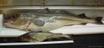 Gadus morhua - large and small Atlantic cod, author: Noz�res, Claude
